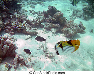 Life underwater - lined butterflyfish and a coral reef