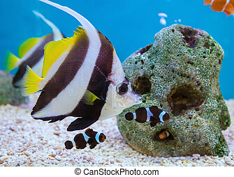 Tropical Fish of Schooling Bannerfish underwater in blue ...
