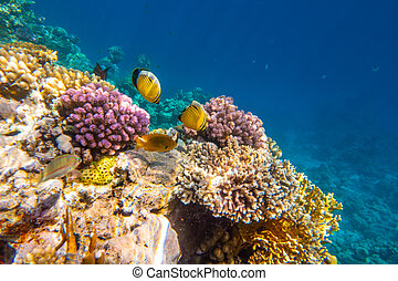 Tropical Fish on coral reef in Ras Mohammed national park