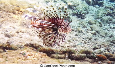 Tropical fish red lionfish coral reef underwater - Tropical...