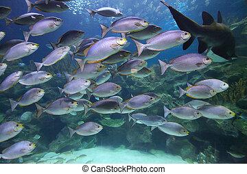 Tropical fish schooling