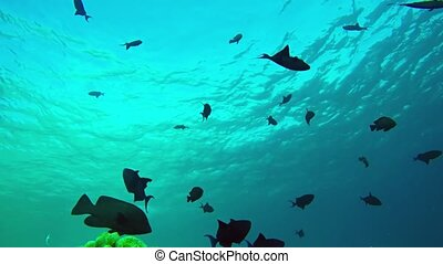 Assortment of tropical coral reef fish, including triggers and angels, silhouetted against the placid, sunlit surface of the sea, with sound. UltraHD 4k footage