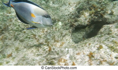 Slow motion clip of a one big tropical fish sohal surgeonfish acanthurus sohal