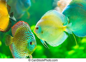 tropical fish - tropical discus  fish