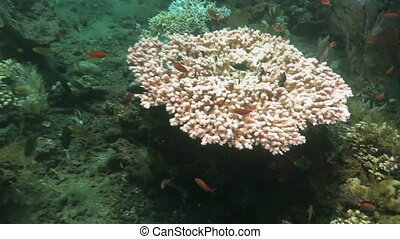 Tropical fish swim around a barrel sponge on a coral reef.
