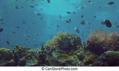 Tropical fish swim in Coral reef in Queensland Australia -...