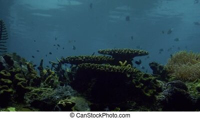 Tropical fish swim in Coral reef in Queensland Australia