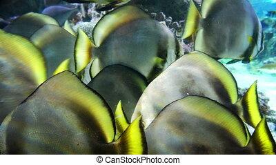 tropical fishes closeup - sunburst butterflyfish .