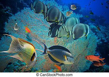 tropical fisk, och, korallrev