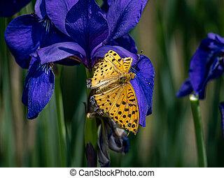 Tropical fitillary butterfly on dark purple flowers 1