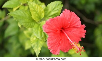 Hibiscus - Tropical flower, Hibiscus, other names Sorrel,...