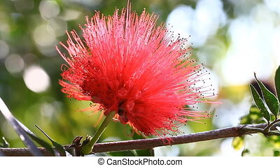 Tropical flower Mimosa pudica blooming in Thailand ( Silk...