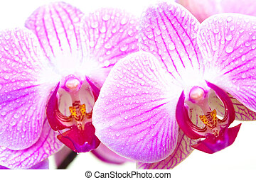 orchid - tropical flower orchid. Isolated over white ...