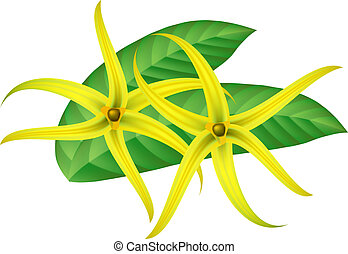 Tropical flower - ylang-ylang (Cananga). Vector illustration.