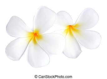 Tropical flowers frangipani plumeria isolated on white background tropical flowers frangipani plumeria isolated on white background mightylinksfo