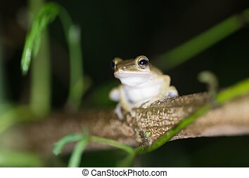 Tropical forest frog