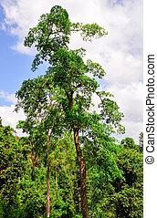 Tropical Forest of Kakum National Park, Ghana