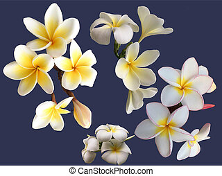 Collection of blooming white plumeria flowers on blue background.
