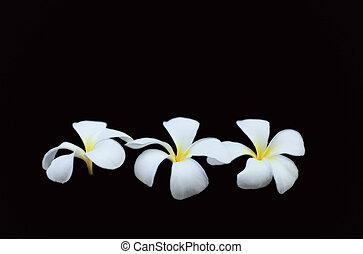 Tropical frangipani (plumeria) flower