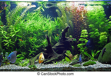 A beautiful planted tropical freshwater aquarium with Discus Fish