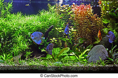 A beautiful tropical planted freshwater aquarium with Discus Fish.