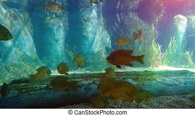 Tropical freshwater fish in a big aquarium. UltraHD 2160p 4k video