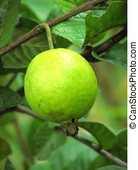 Tropical Fruit - Green Guava,Plant and fruit