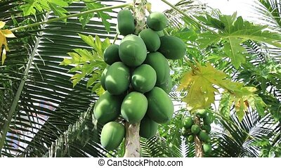 Tropical fruit papaya ripening on the tree on a sunny summer...