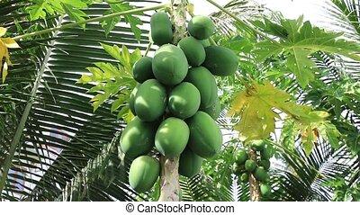 Tropical fruit papaya ripening on the tree on a sunny summer...