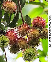 Tropical fruit, Rambutan on tree