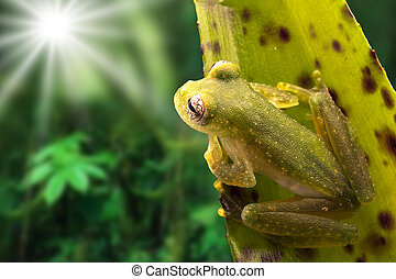 Tropical glass frog from the Amazon rain forest