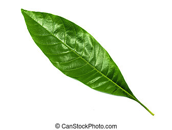 Tropical green leaf. Green leaf isolated on a white background, Nature backdrop