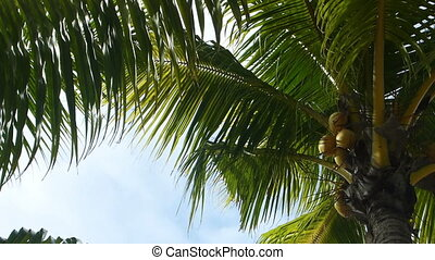 Tropical green palm trees, pan shot, zoom in