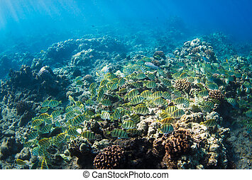 tropical, hawai, arrecife