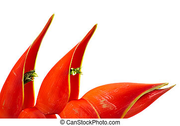Tropical heliconia flower (Heliconia stricta)