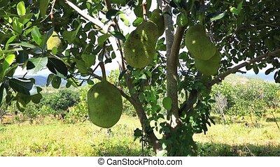 Tropical Jackfruit from Vietnam - Video shot of ripe...