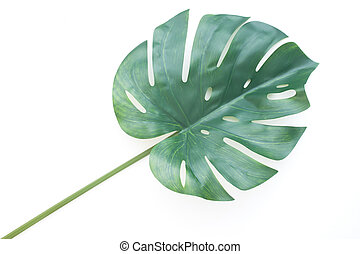 Tropical jungle leaf or Monstera on white background