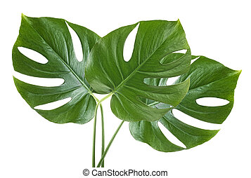 Tropical jungle monstera leaves isolated on a white background
