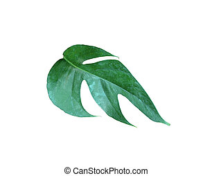 tropical jungle monstera leaves , Swiss Cheese vine leaf tree isolated on white background