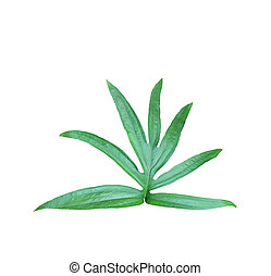 tropical jungle monstera leaves , vine leaf tree isolated on white background