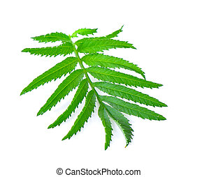 tropical leaf isolated on white background