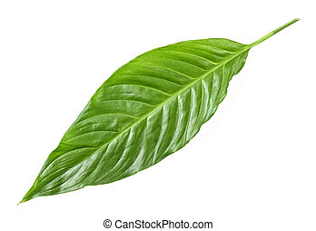 Tropical leaf on white background