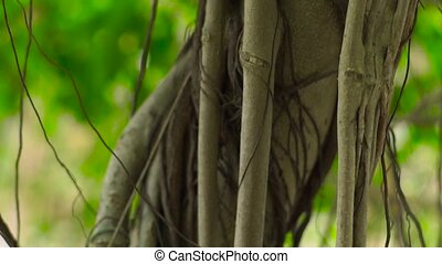 Tropical lianas twisting tree trunk in jungle on background green foliage and plants branches. Close up branches of lianas and trunk of green tree in rainforest.
