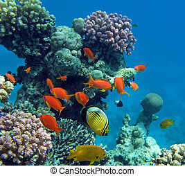 Tropical fish of the Red Sea coral reef