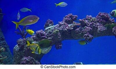 Tropical marine fish in a large aquarium.