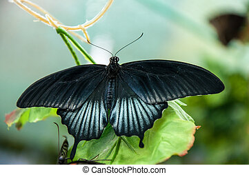 tropical, mariposa, papilio, lowi, macho