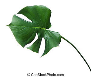 Monstera leaf isolated on white background.