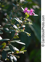 Tropical Myrtus wild bush