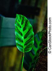 tropical, naturaleza, planta, verde, patrón, rayas, hermoso, blanco, majestica, hojas, follaje, hoja, calathea