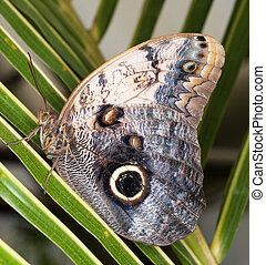 Owl butterfly - Caligo Memnon - Tropical Owl butterfly - ...